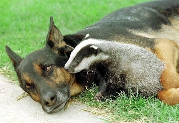 This badger's story is actually one of two caring dogs. When the first dog found the badger, orphaned and underfed in the countryside, he carefully brought the cub back to his humans. Seeing that the badger needed extra care, the humans brought the badger to the Secret World Wildlife Rescue Animal Sanctuary. There, the badger was spotted by the sanctuary's resident dog, Murray, who took maternal responsibility for the cub.