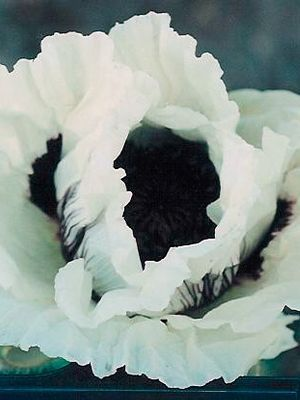 Papaver- Oriental Poppy 'Casino'  Zones 3-9