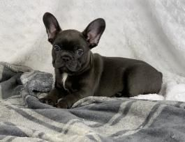 Sunny girl French Bulldog Puppy for Sale in Wilkes barre