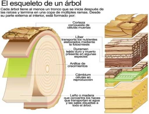 Estructura de la madera analizando un tronco desde el - Tratamiento de madera para exterior ...