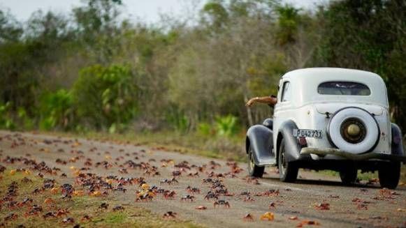 Touristen sind fasziniert, Einheimische genervt: Jedes Jahr von April bis Juni belagern Millionen von Landkrabben die kubanische Küstenstraße in der ...