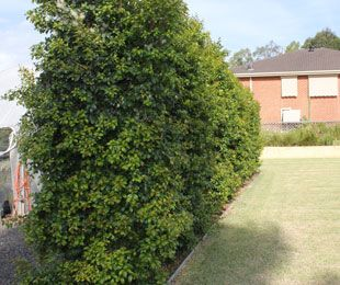 PINNACLE™ Syzygium is an ideal tree to use as a screen or hedge for tight planting areas (along fences and driveways) also for topiary