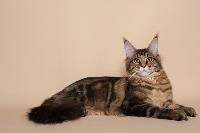 Maine Coon Black Tabby Blotched. IC.NL Frizzy's Fortune Francesco