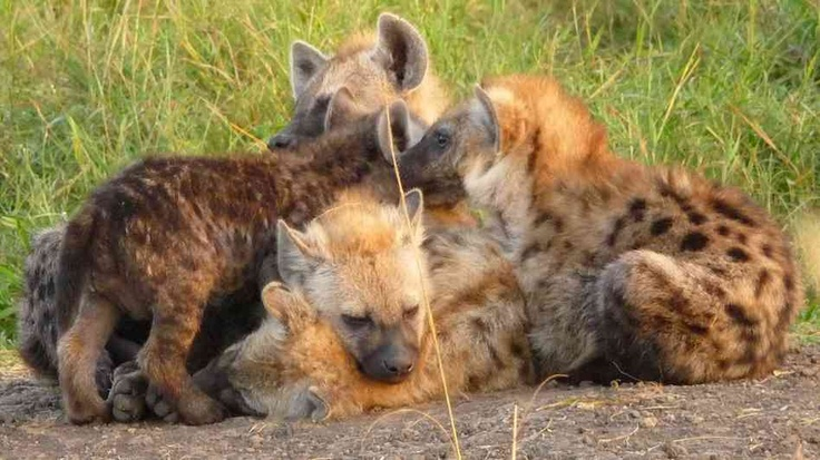 Convergent Evolution: Hyenas Offer Clues To The Human Past (NPR)
