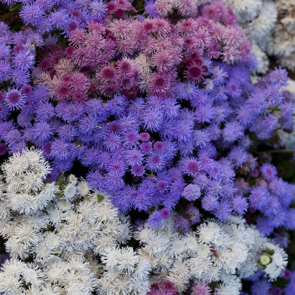 Pin On Annuals A To Z