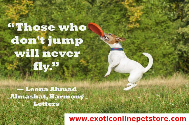 """Those who don't jump will never fly."" - Leena Ahmad Almashat #leenaahmadalmashat #jump #playing #fly #dogs  http://www.exoticonlinepetstore.com/"