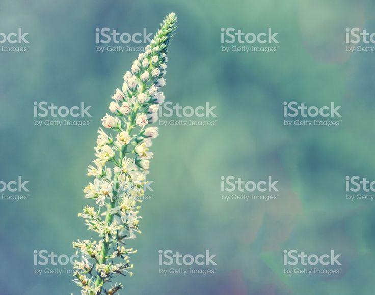 Wild Flower royalty-free stock photo