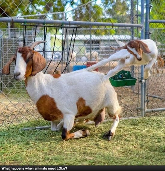 Funny Goat Pictures (50 Awesome Images)