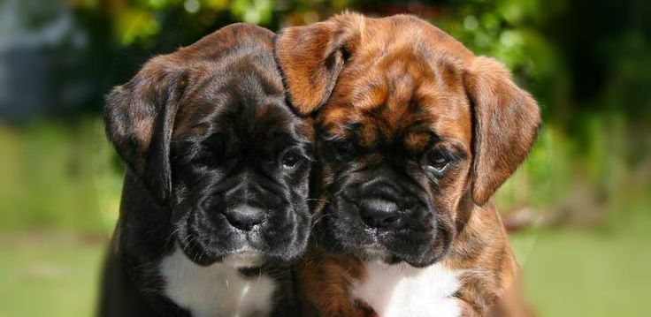 boxer pups OMG! How could you not just fall totally in love with a face like that.