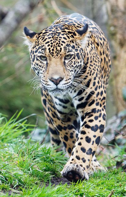 Female Jaguar - Pantera onca (photograph by Dyrk Daniels)