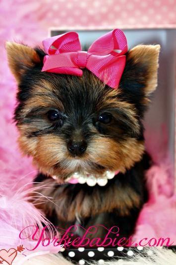 16 best Maltese puppie...