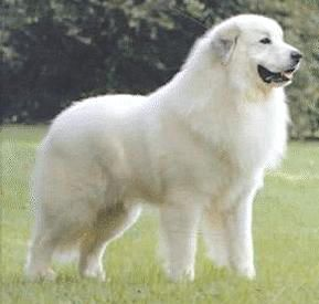 Great Pyrenees. They are members of the working group. They are great protectors of sheep. They stand at 25-32 inches at the shoulder and weigh about 80-120 pounds.