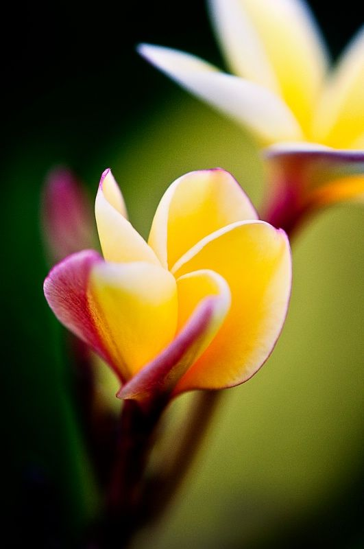~~A Warm Afternoon ~ Frangipani by Christine Dalton~~