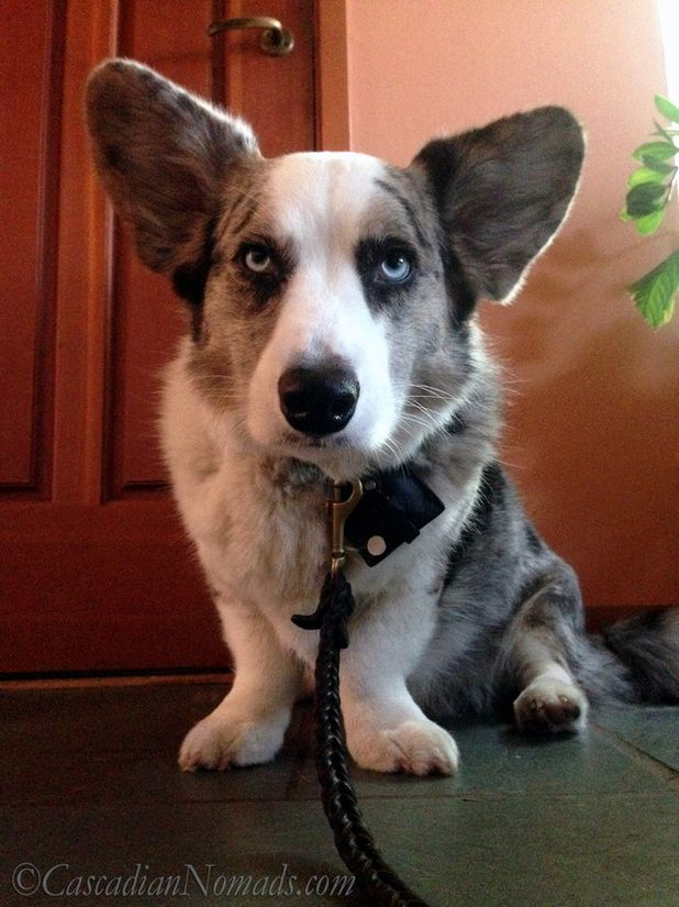 If Pets Had Thumbs Day: Blue merle cardigan welsh corgi Brychwyn would use a thumb to unlatch his leash and be free!