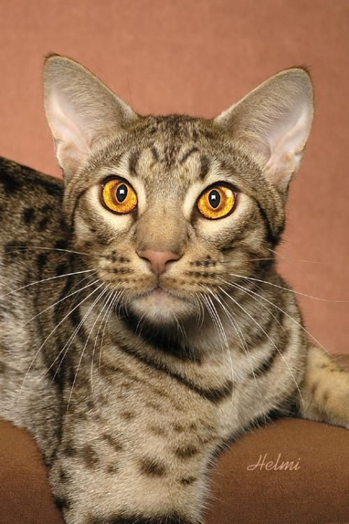 Handsome ocicat with a beautiful wedge face