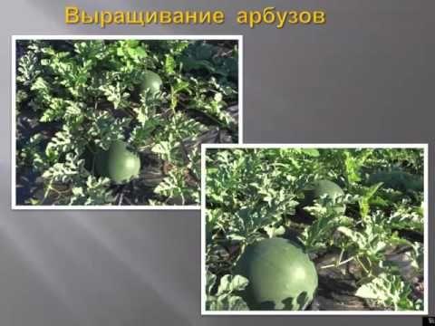 Выращивание арбузов и дынь