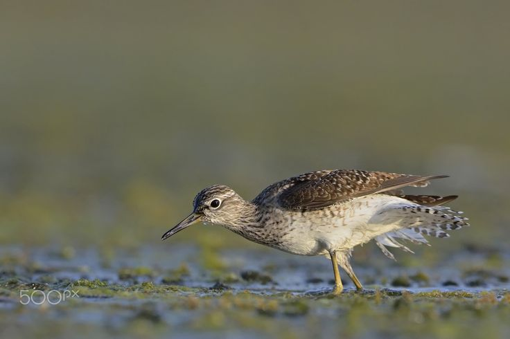 Wood Sandpiper - Thank you all for paying attention on my work, your likes and your comments