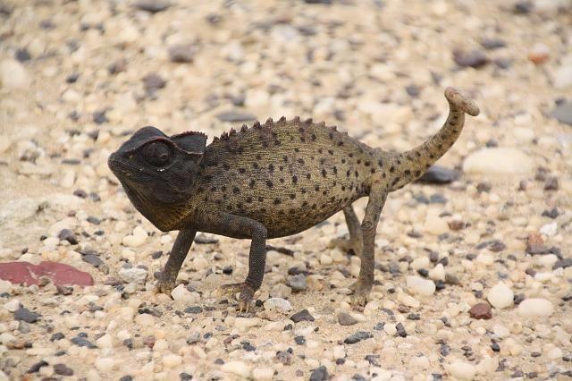 Namaqua Chameleon Namibia