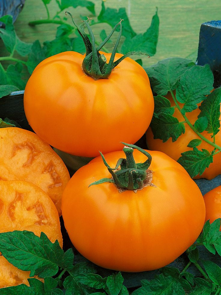 how to make hybrid tomato seeds