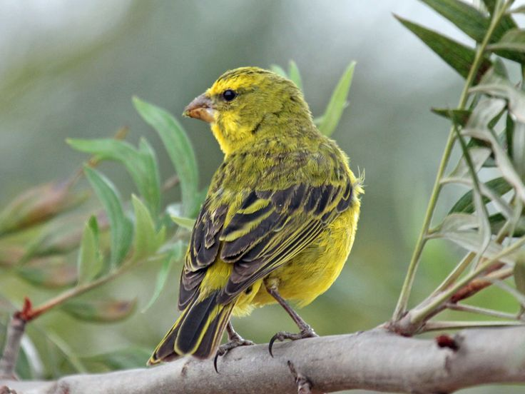 Pin Di Bird Families F