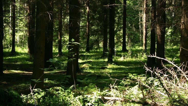 Kun metsä saa kehittyä rauhassa, sen kasvillisuudessa voi havaita kerroksellisuuden puiden latvuksista metsän pohjalle. Siellä voi myös kohdata ylvään sarvipään, hirven. (Video 2 min.)
