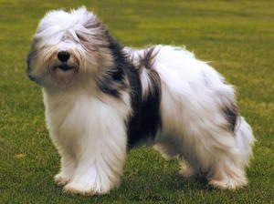 Polish Lowland Sheepdog photo | polish-lowland-sheepdog[1]