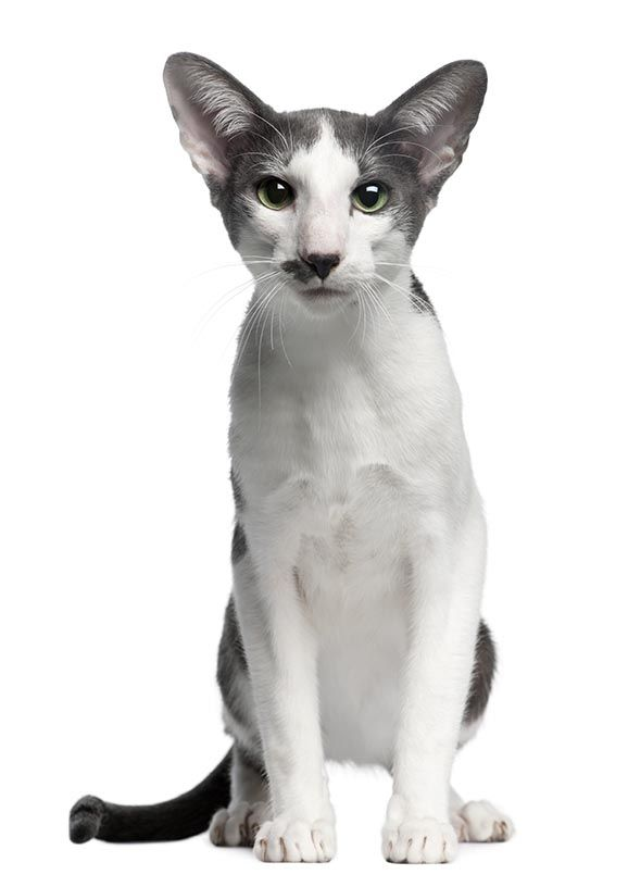 The Oriental Bicolor Cat