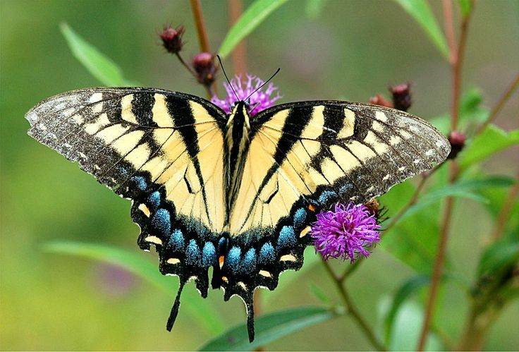10 best images about butterfly pics on Pinterest Extinct