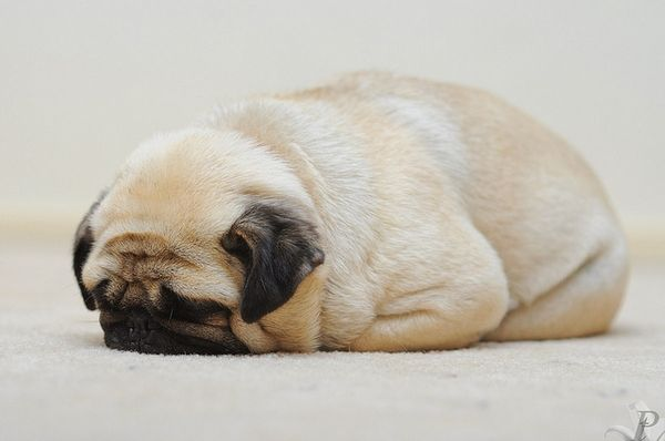 pugloaf aka cutest thing i have ever see in all my existence. My Bella does this.