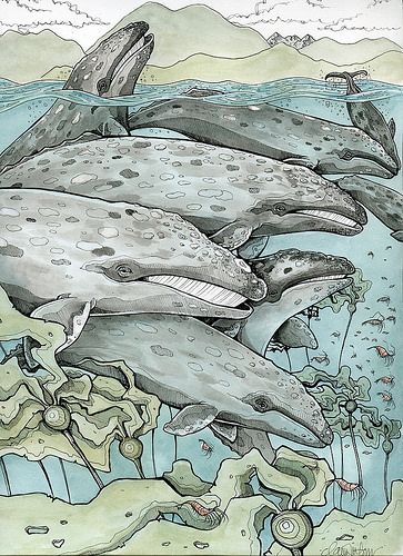 Grey Whales by Claire Watson, via Flickr