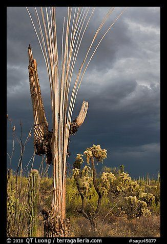 Bare wooden ribs of Saguaro skeleton under dark sky. Saguaro National Park, Arizona, USA.
