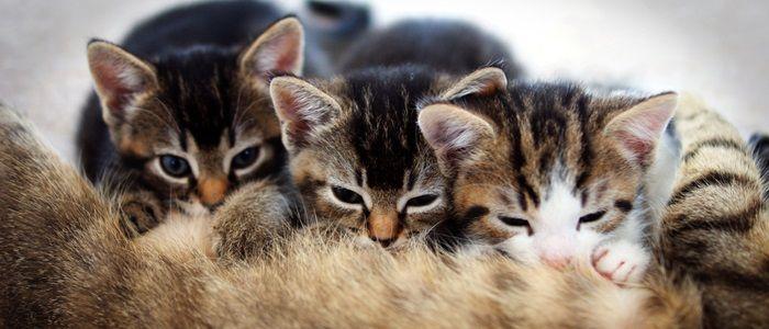 Er zijn veel redenen om je kat te laten castreren of steriliseren, ook voor de gezondheid van je dier. Wil je toch een nestje, lees dan vooral door!