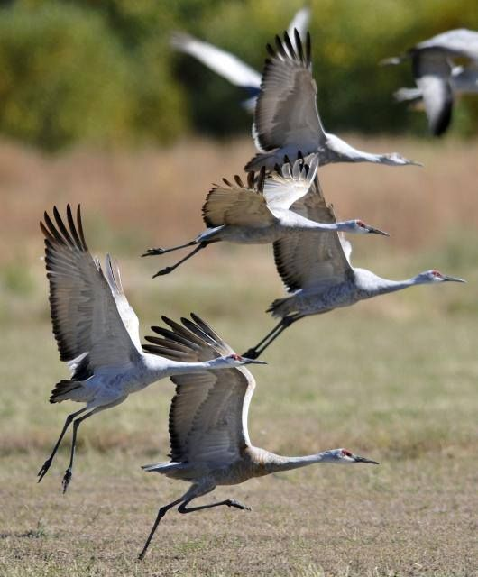 Sandhill Cranes heading south before the snow hits. We live on Crane Rd. They're all over our area =)