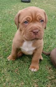 Image result for french mastiff-bull mix