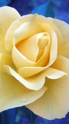 Iphone Wallpaper yellow flower