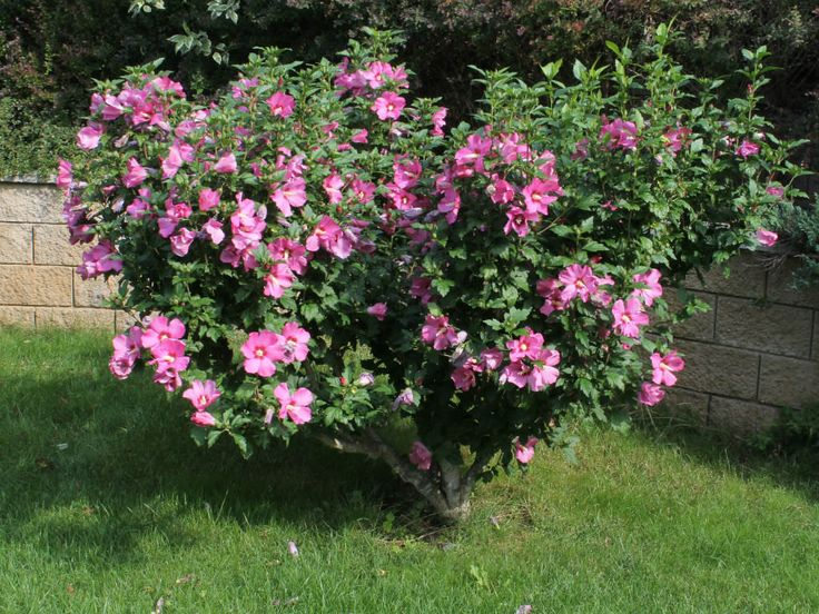 Hibiscus syriacus is a hardy, deciduous shrub. It is upright and vase-shaped, reaching up to 13 feet (4 m) in height, bearing large, trumpet-shaped flowers with prominent, yellow-tipped, white stamens... #hibiscus #plantopedia #FloweringPlant #flowers #FloweringPlants #plant #plants #flower #blooming #FlowersLover #FlowersLovers #FlowerGarden #WorldOfFlowers #WorldOfFloweringPlants