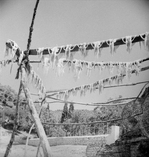 Απλωμένα χταπόδια. Σκόπελος, γύρω στα 1960 Πέτρος Μπρούσαλης  - Μουσείο Μπενάκη