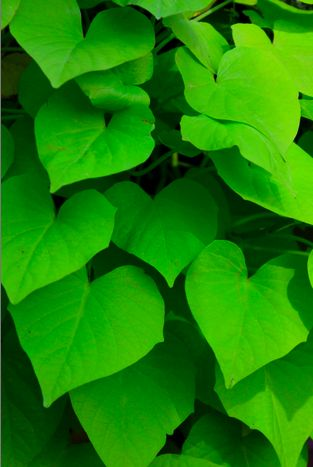 green leaves: Interesting Things, Things Beautifulshad, Things Places, Shape Heart, Gorgeous Green, Green Leaves Piccolet, Green Colors, Natural Heart, Things Hearti