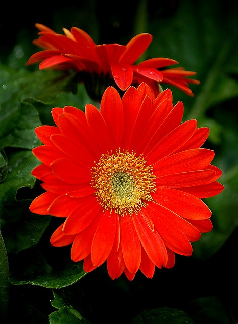 Red Daisies..one of my most favorite flowers.