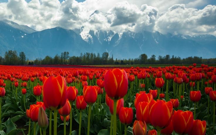 Гора Mt.Cheam и тюльпановые поля возле городка Agassiz, BC *now this is beyond gorgeous* tulip fields 120 km east from Vancouver, Canada