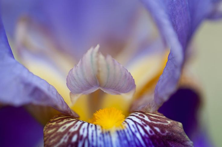 Heart Of Iris. Macro by Jenny Rainbow fine art prints for home decor. Beautiful abstract macro detail of the Iris flower. Prints available in different sizes suitable for your interior, order online, delivery, 30 days money back guaranty. To start shopping just click on image. Enjoy! #JennyRainbowFineArtPhotography