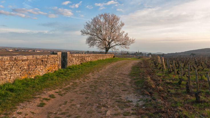 Paysage de vignes en Côte-de-Beaune, en plein cœur des Climats de Bourgogne. #lacotedorjadore , #labourgognejadore, #bourgogne, #cotedortourisme, #IgersBourgogne, #mybourgogne, #vin, #beaune, #grandscrus, #loves_france, #beautifulfrance