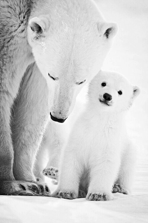 Beautiful polar bear mom and cub in Churchill, Manitoba, Canada on Hudson Bay • photo: Chris Prestegard. #exploremb