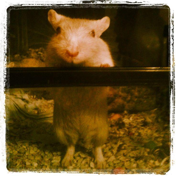 """""""golosina"""" es uno de nuestros Jerbos. Una mascota entrañable. http://www.vidasalvaje.net/"""