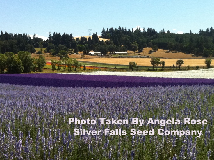 Flower Seed Production Fields For Silver Falls Seed Company In