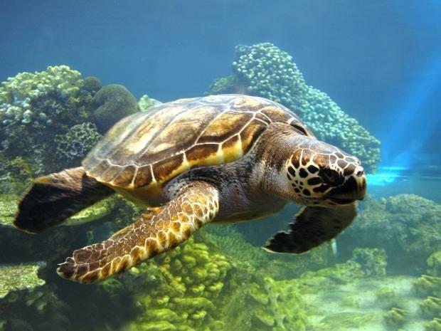 Домой, в океан: 50-летнюю морскую черепаху вернули в дикую природу https://joinfo.ua/inworld/1200221_Domoy-okean-50-letnyuyu-morskuyu-cherepahu.html