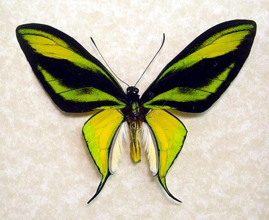 rare butterflies of the world | Ornithoptera , Paradisea,birdwing, butterfly, real, framed, paradise