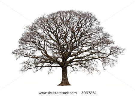 Tree With No Leaves Clip Art | Oak tree in winter devoid of leaves set against a white background ...