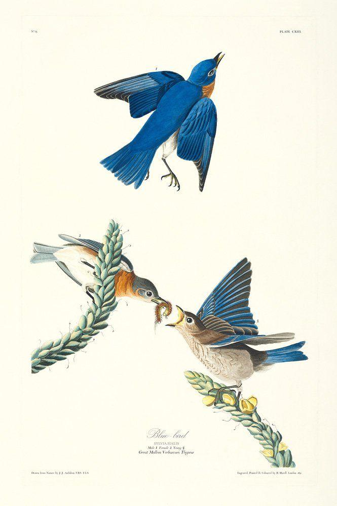 121 Best Images About Audubon Prints On Pinterest