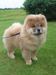 CHOW CHOW ~~With his thick mane and powerful body, the Chow resembles a lion on a smaller scale, and he is about as active as that lazy feline. Guarding your home is his business, and he can do it perfectly well without a high-activity level give him a short daily walk and he'll be happy. The Chow is a medium-size dog who stands 17 to 20 inches tall and weighs 45 to 60 pounds http://xfinity.comcast.net/slideshow/news-couchdogs/6/
